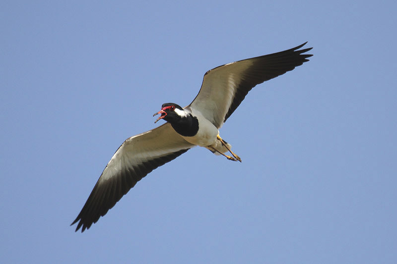 Red-wattled Lapwing by Mick Dryden