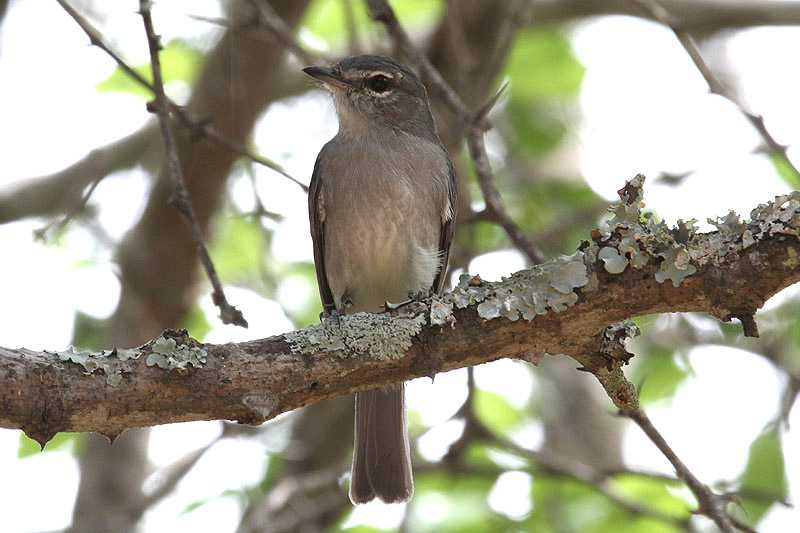 Ashy Flycatcher by Mick Dryden