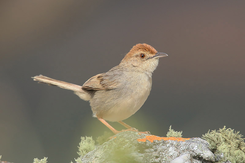 Wailing Cisticola by Mick Dryden