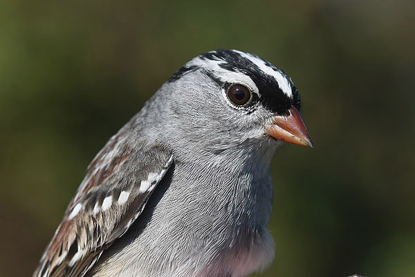 White crowned Sparrow by Mick Dryden