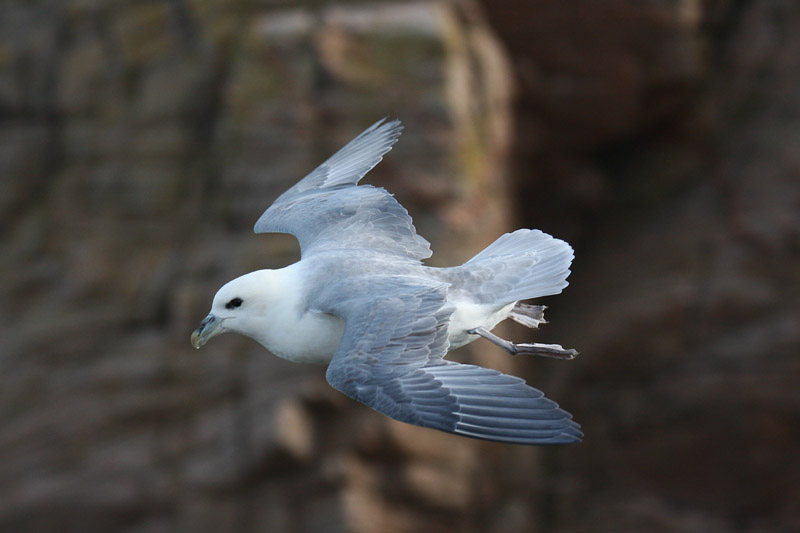 Northern Fulmar by Mick Dryden