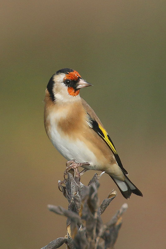 Goldfinch by Mick Dryden