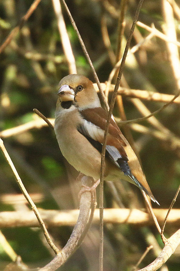 Hawfinch by Mick Dryden
