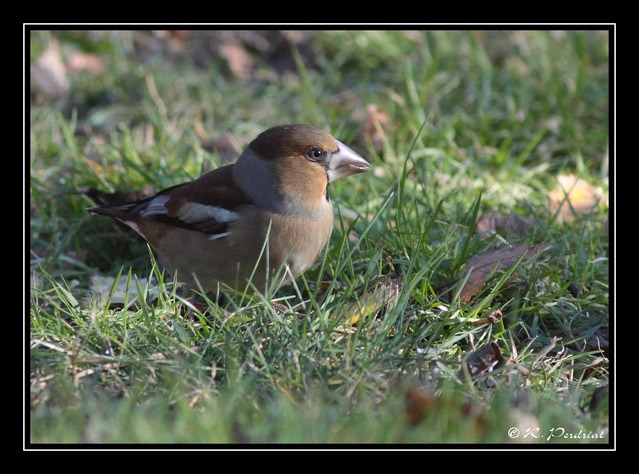 Hawfinch by Regis Perdriat