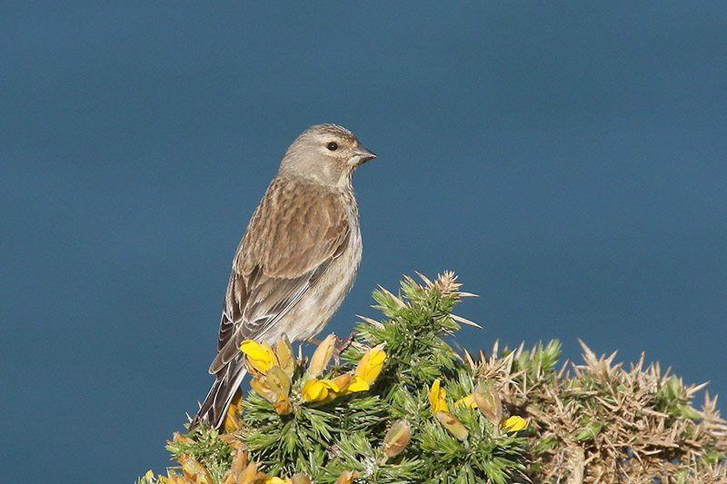 Linnet by Mick Dryden