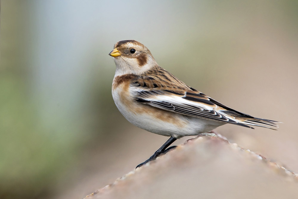 Snow Bunting by Romano da Costa
