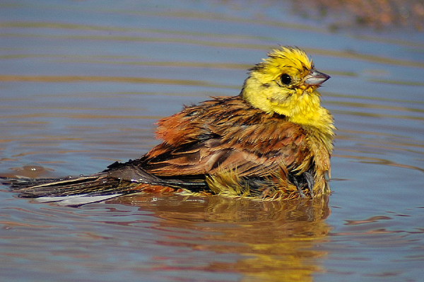 Yellowhammer by Romano da Costa