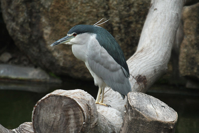 Black-crowned Night Heron by Mick Dryden