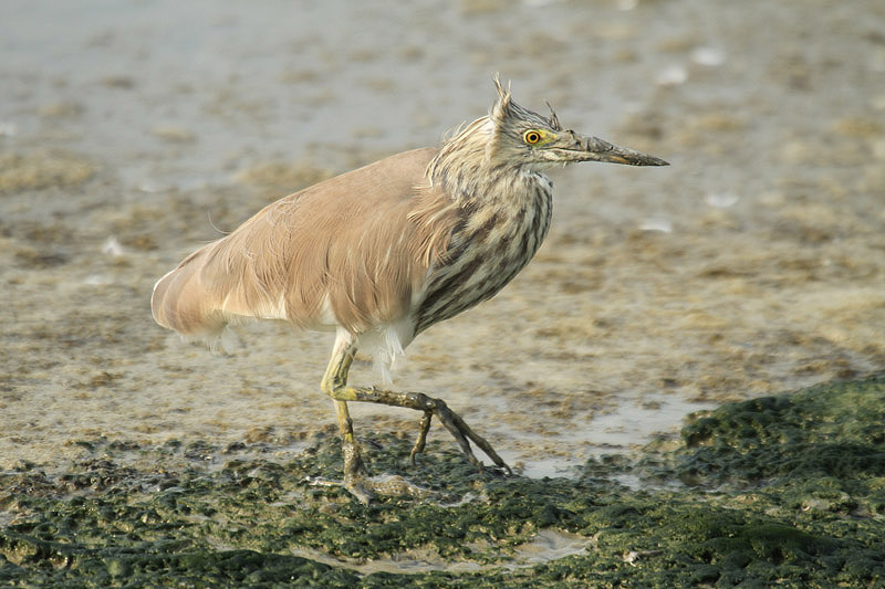 Chinese Pond Heron by Mick Dryden