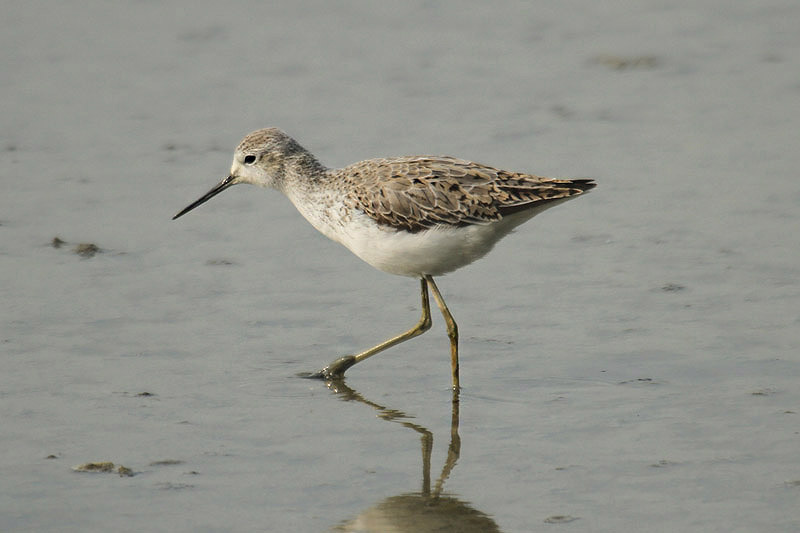 Marsh Sandpiper by Mick Dryden