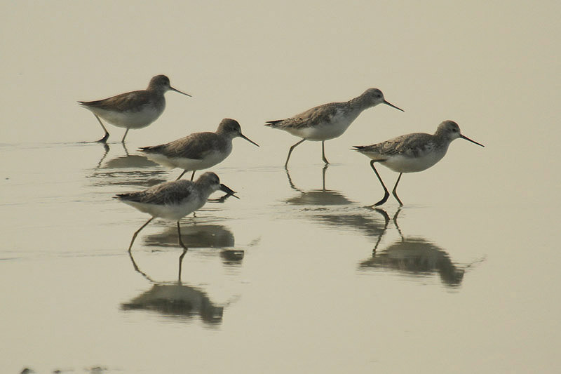 Marsh Sandpipers by Mick Dryden