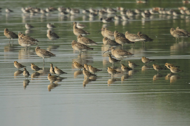 Pacific Golden Plovers by Mick Dryden