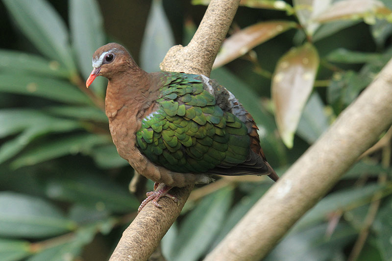 Emerald Dove by Mick Dryden