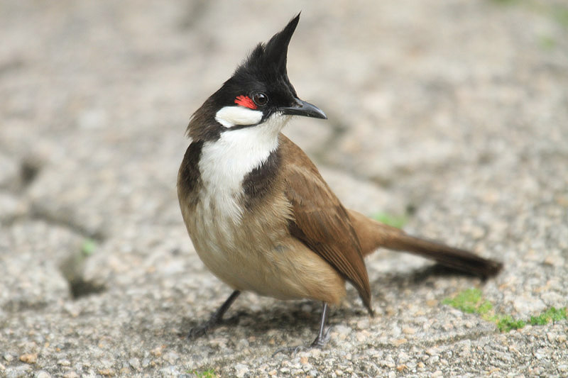 Red-whiskered Bulbul by Mick Dryden
