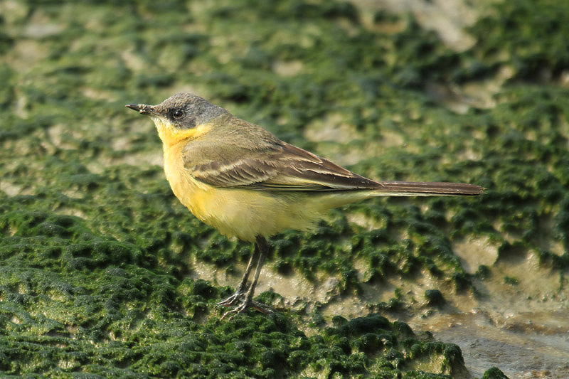 Yellow Wagtail by Mick Dryden