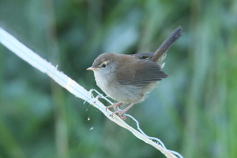Cettis Warbler by Mick Dryden