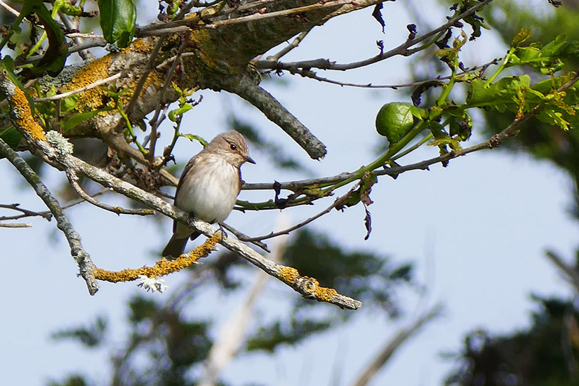 Spotted Flycatcher by Bryony Nolan