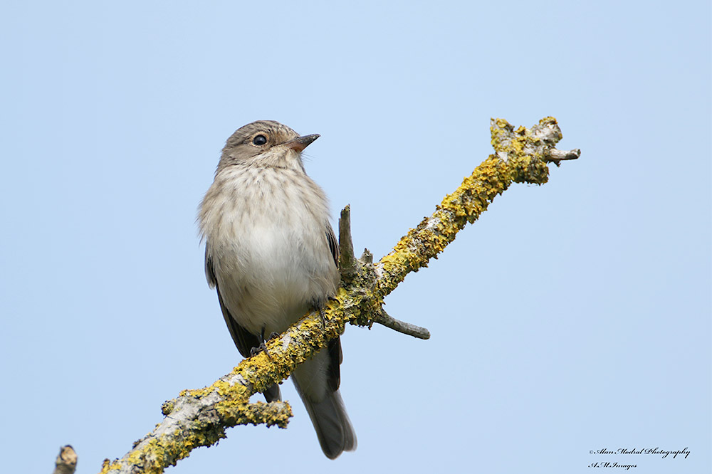 Spotted Flycatcher by Alan Modral