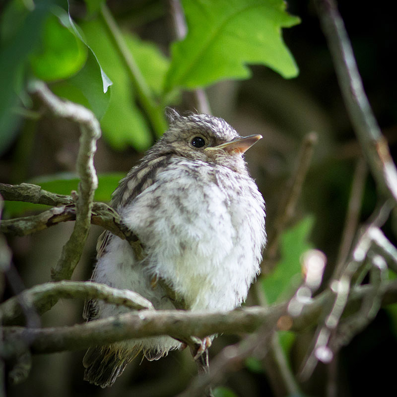 Spotted Flycatcher by Chris Morgan