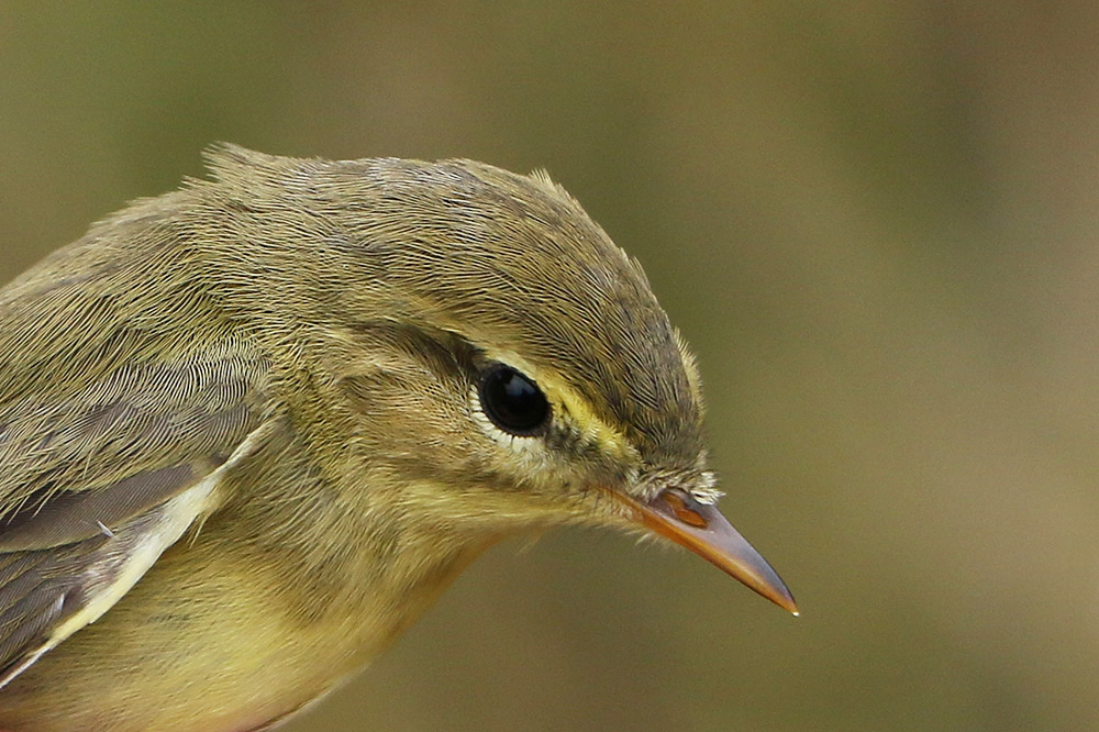 Willow Warbler by Mick Dryden