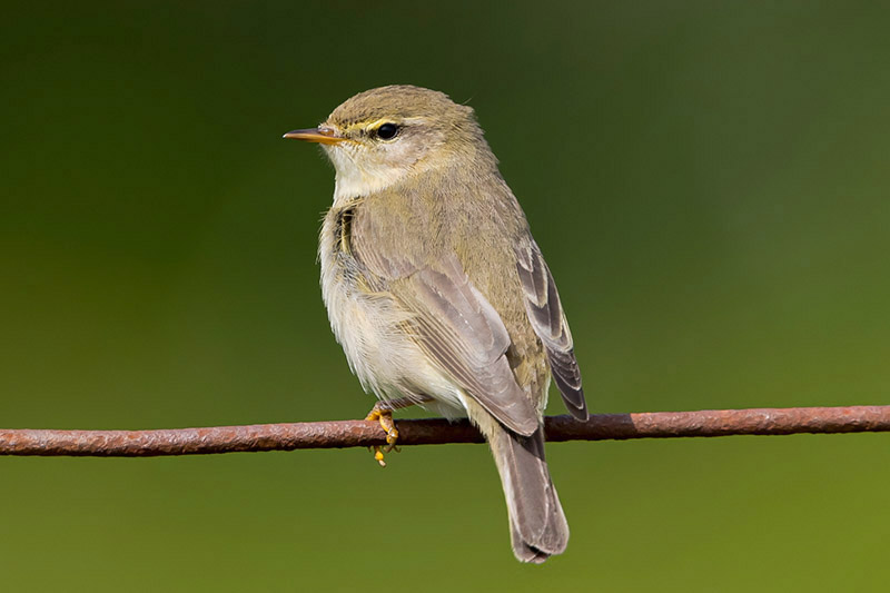 Willow Warbler by Romano da Costa