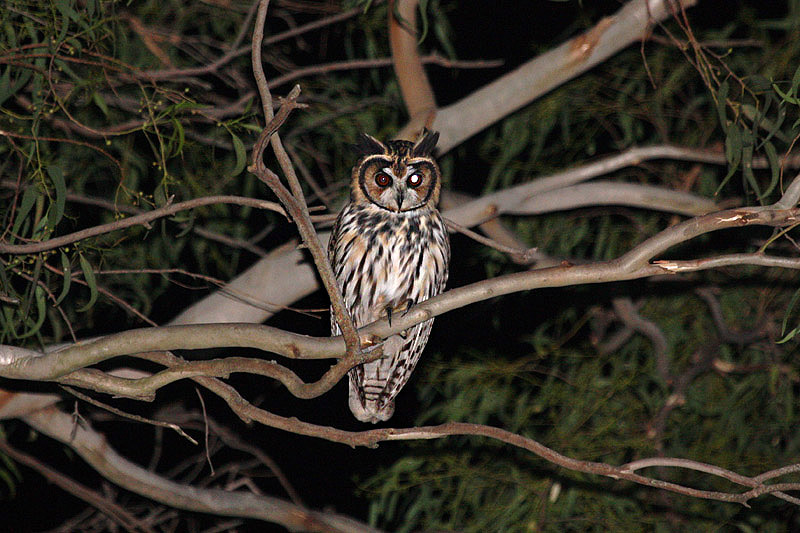 Striped Owl by Miranda Collett