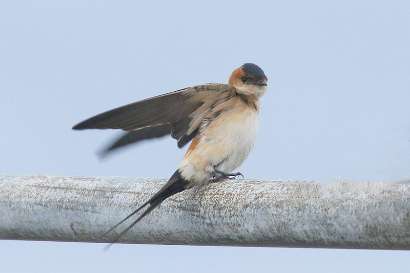 Red rumped Swallow by Mick Dryden