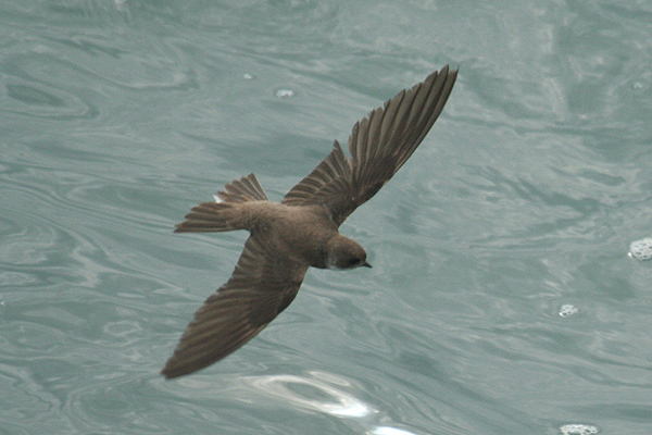 Sand Martin by Mick Dryden