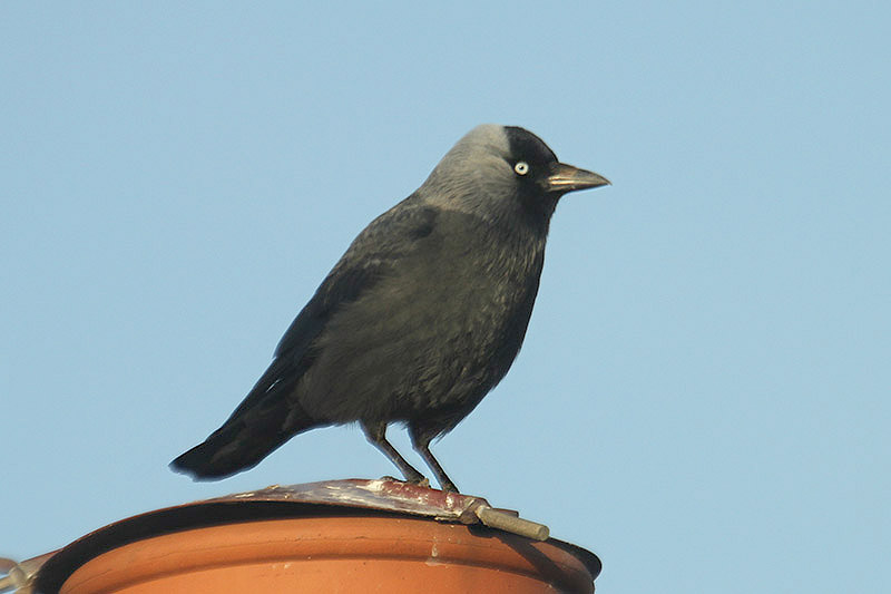 Jackdaw by Mick Dryden
