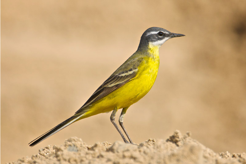 Blue-headed Wagtail by Paul Marshall