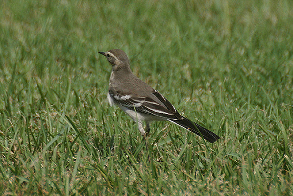 Citrine Wagtail by Mick Dryden