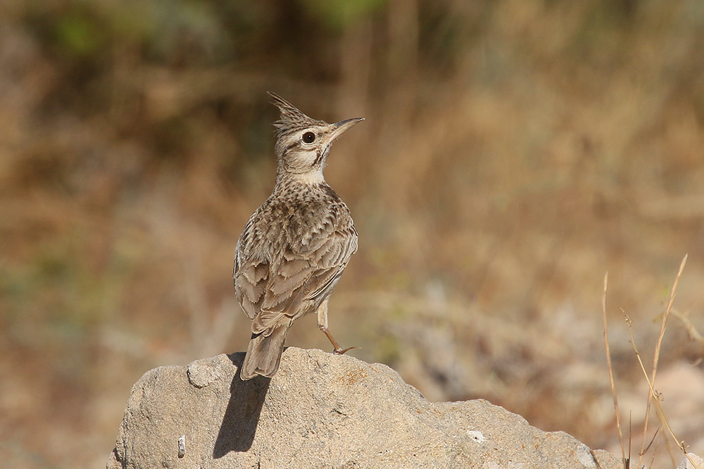 Crested Lark by Mick Dryden