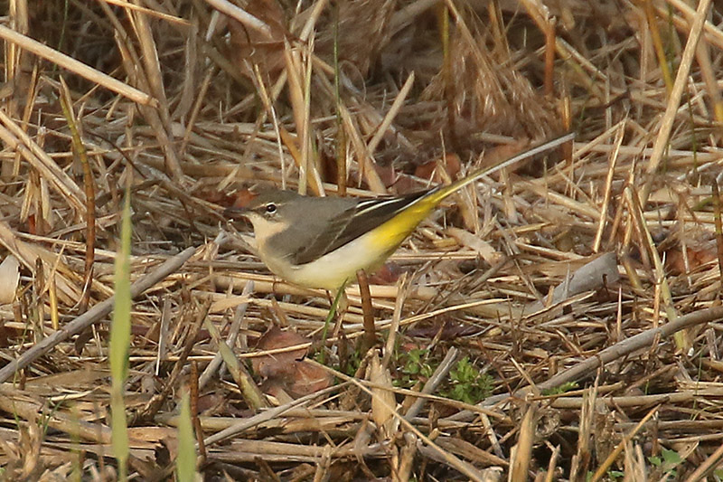 Grey Wagtail by Mick Dryden