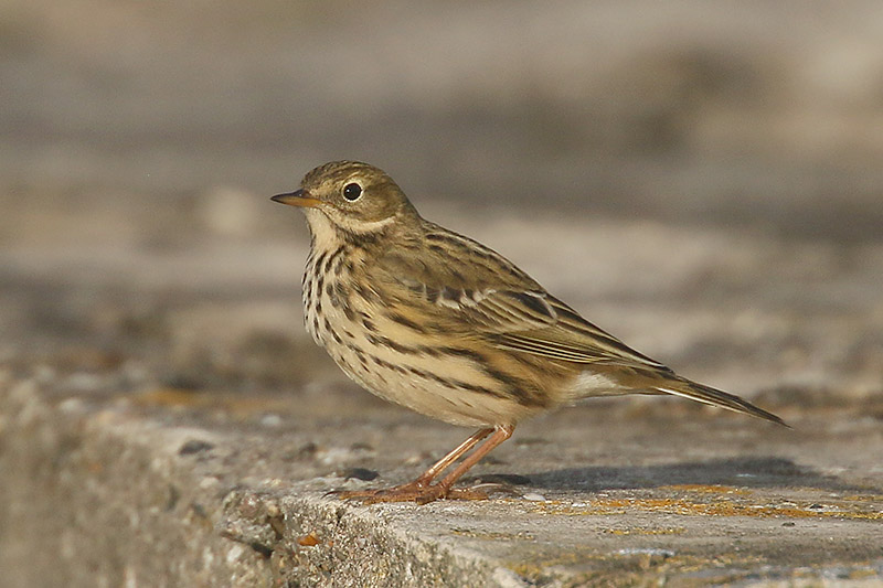 Meadow Pipit by Mick Dryden