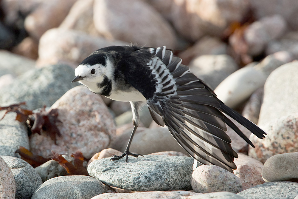 Pied Wagtail by Romano da Costa