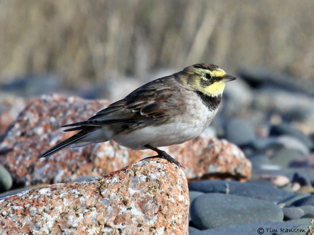 Shore Lark by Tim Ransom