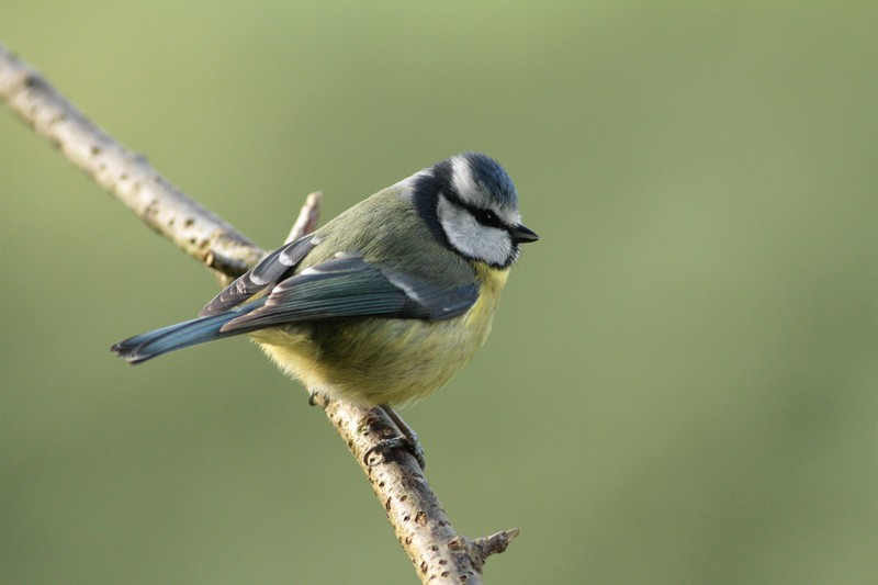 Blue Tit by Regis Perdriat