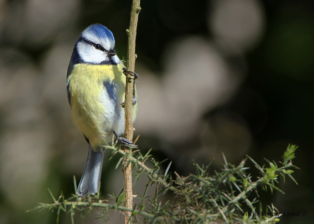 Blue Tit by Vikki Robertson