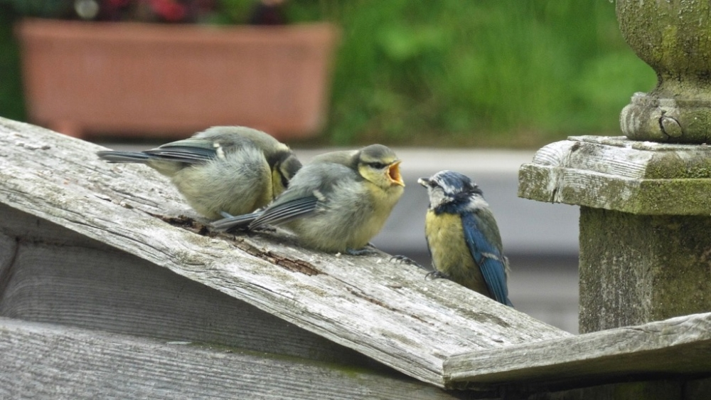 Blue Tits by Keith Pyman