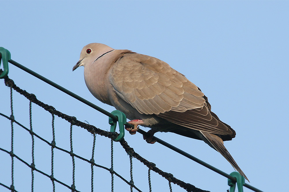 Collared Dove by Mick Dryden