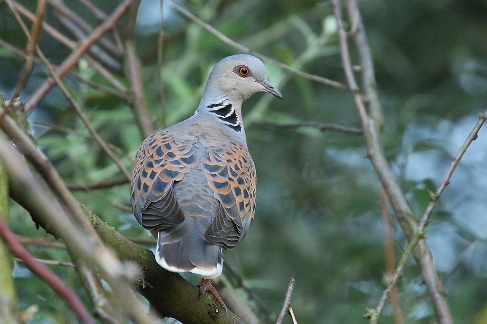 Turtle Dove by Mick Dryden