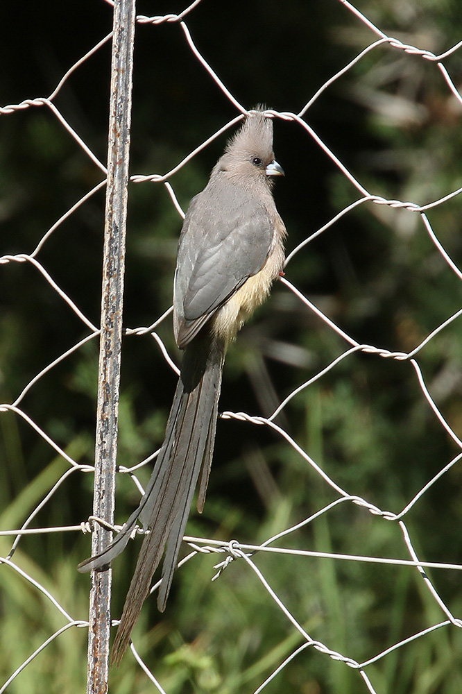 White backed Mousebird by Mick Dryden
