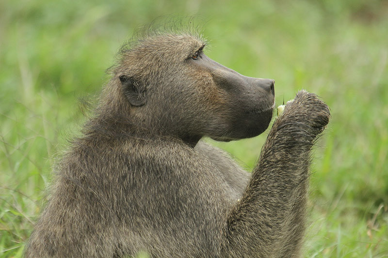 Baboon by Mick Dryden