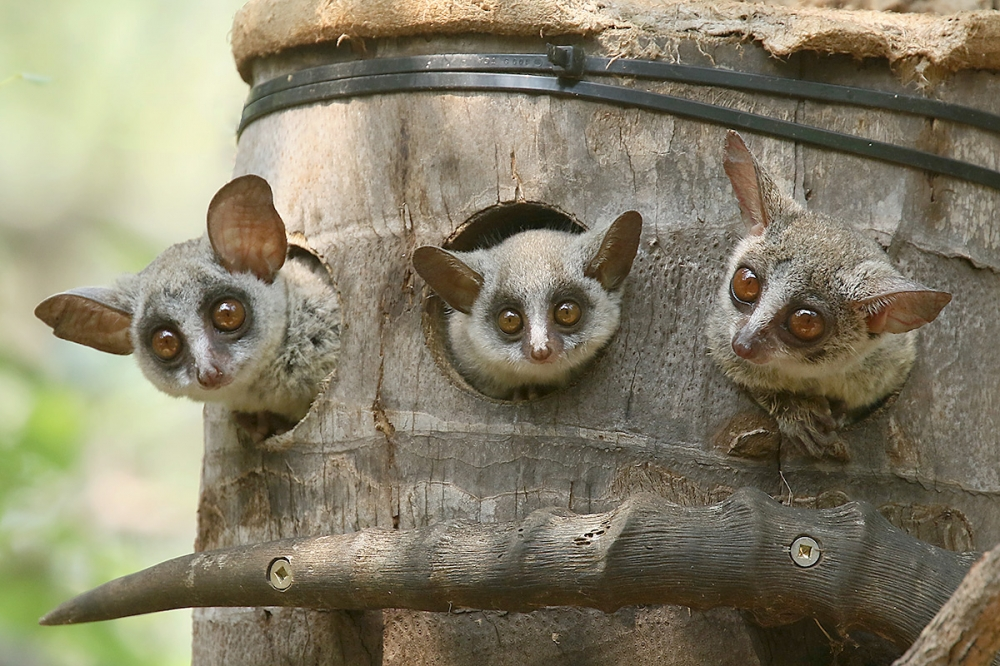 Bush Baby by Mick Dryden