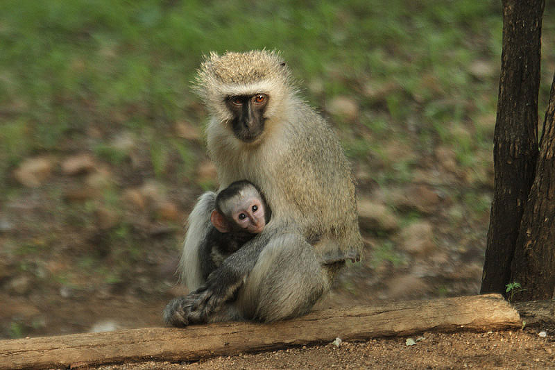 Vervet Monkey by Mick Dryden