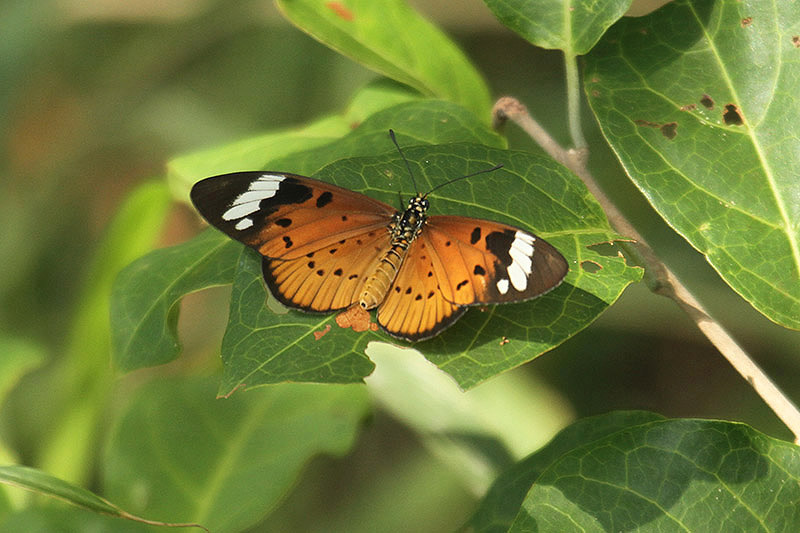 White-barred Acraea by Mick Dryden