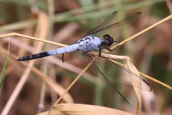 Black-tailed Skimmer by Mick Dryden