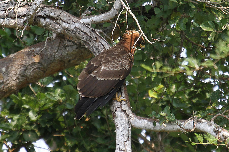 African Harrier Hawk by Mick Dryden
