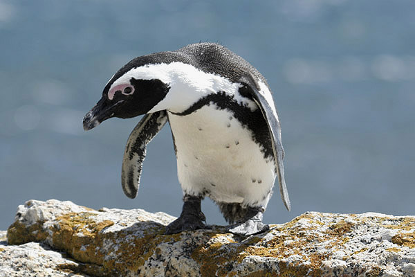 African Penguin by MIck Dryden