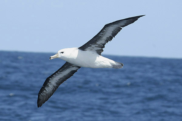 Black-browed Albatross by Mick Dryden